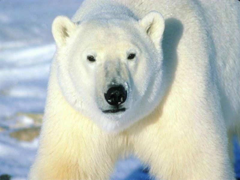 Polar Bears Hate Al Gore